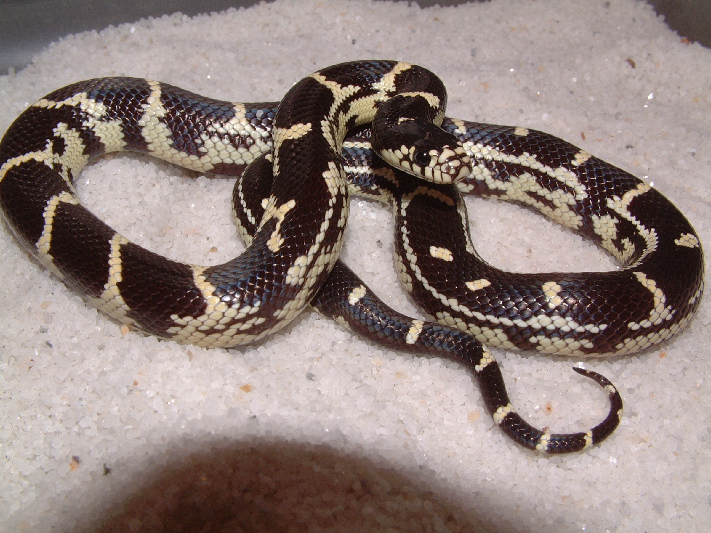 Pictures of king snakes