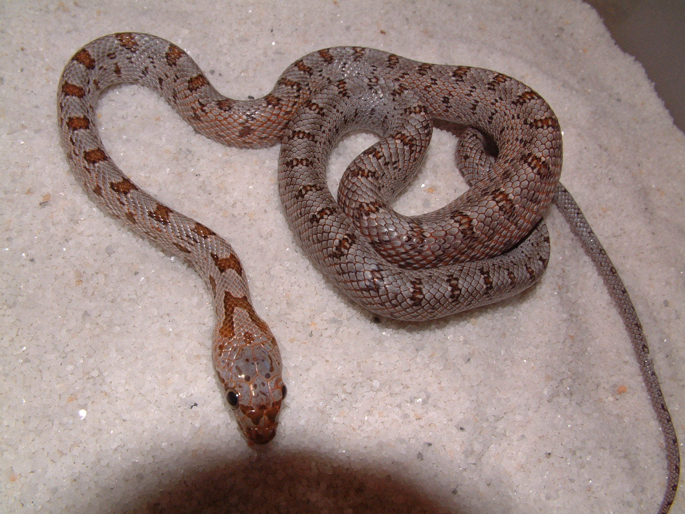 Pictures of rat snakes