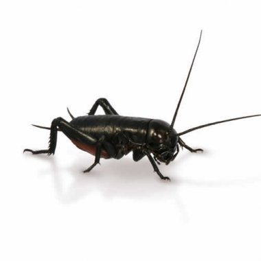 Small Black Crickets 4-5mm - 250 Pack