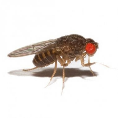 Flightless Fruitfly 2-3mm - Culture