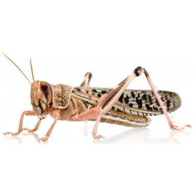 Adult Locusts 60-80mm - 12 Pack