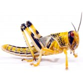 Hatchling Locust 5- 10mm - 25 Pack