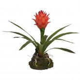 Lucky Reptile Bromeliad Cyanea Red 22cm