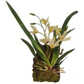Lucky Reptile Hanging Orchid White