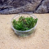 ProRep Live Plant Spikey moss 80cc Cup