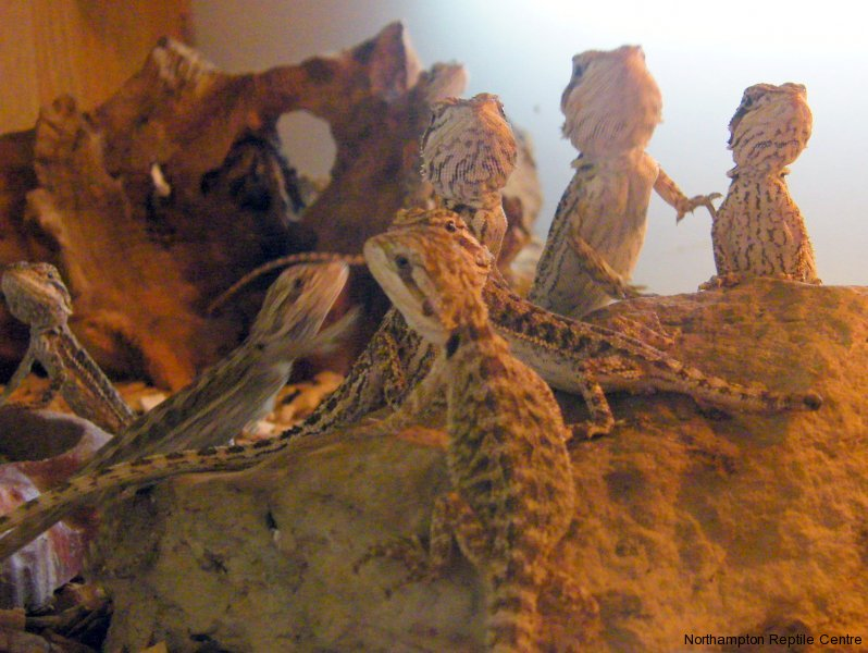 How Long Can A Beardie Store Food