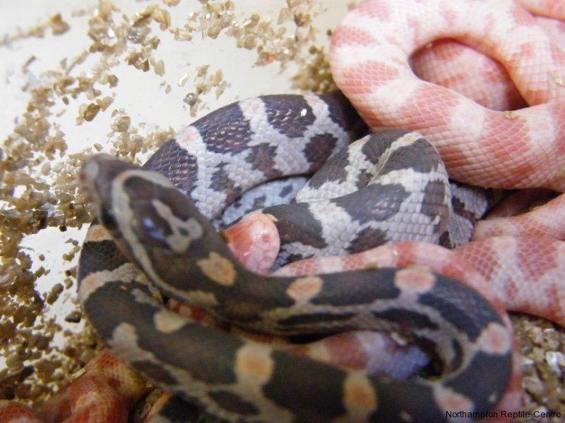 Look at the Baby Corn Snakes that Just Hatched! | Reptile ...