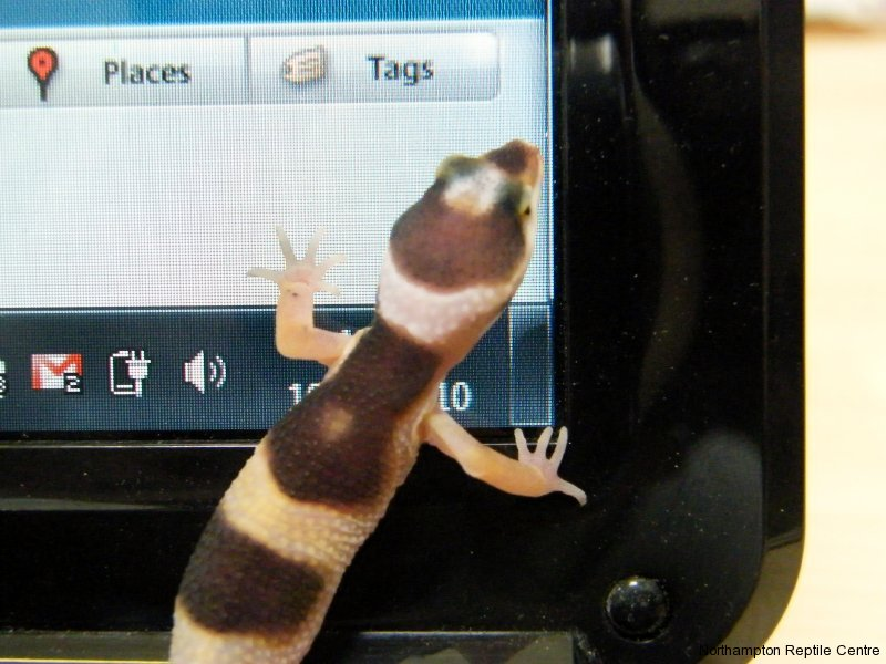 Baby Leopard Gecko trying to do my work