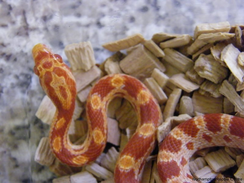 Where Have the Common Corn Snakes Gone? | Reptile Centre