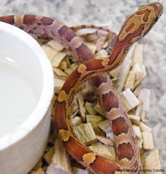 Common Corn Snake