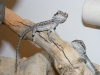 Bearded_Dragon_Babies