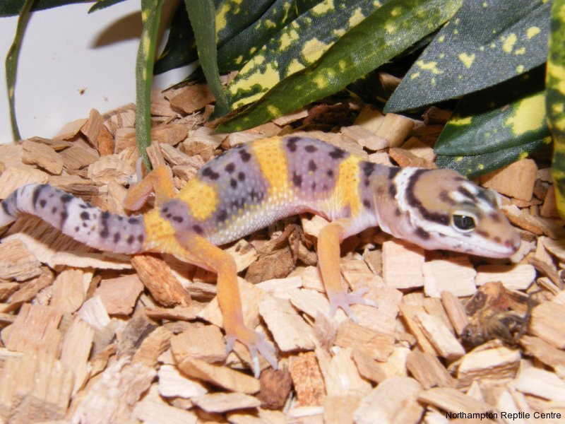 Why is the Leopard Gecko such a great pet? 5 good reasons