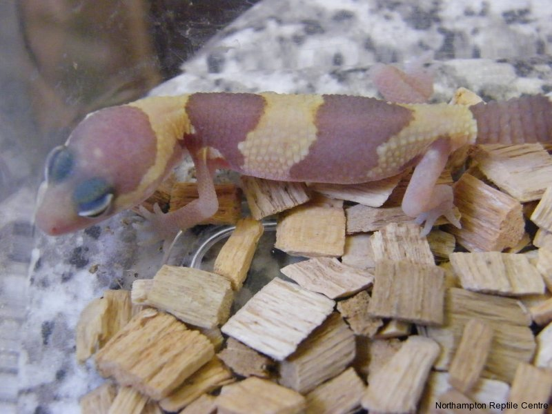 Albino Fat Tail Geckos