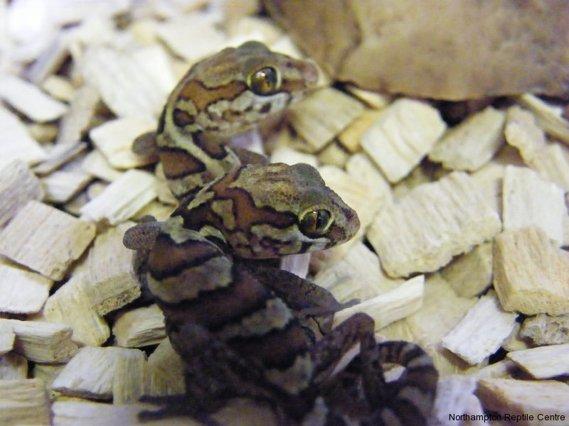 Madagascan Ground Geckos