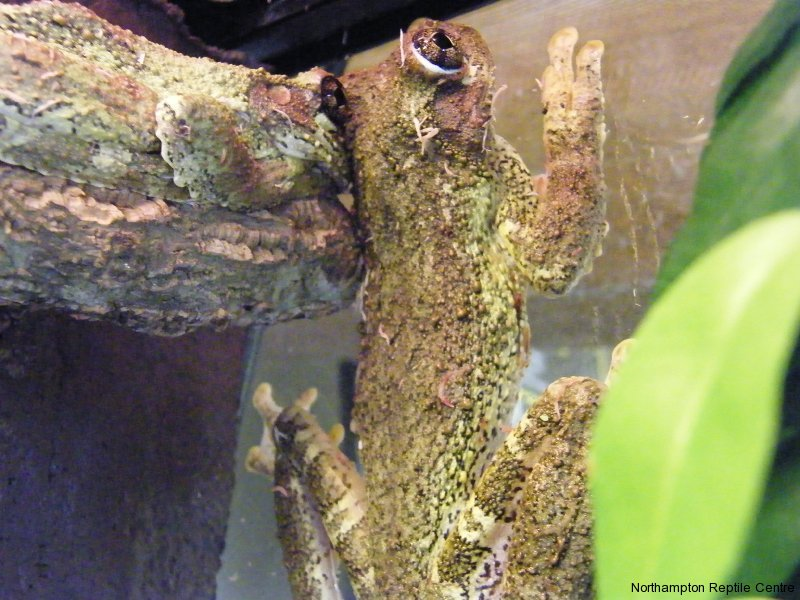 Giant Island Tree Frogs