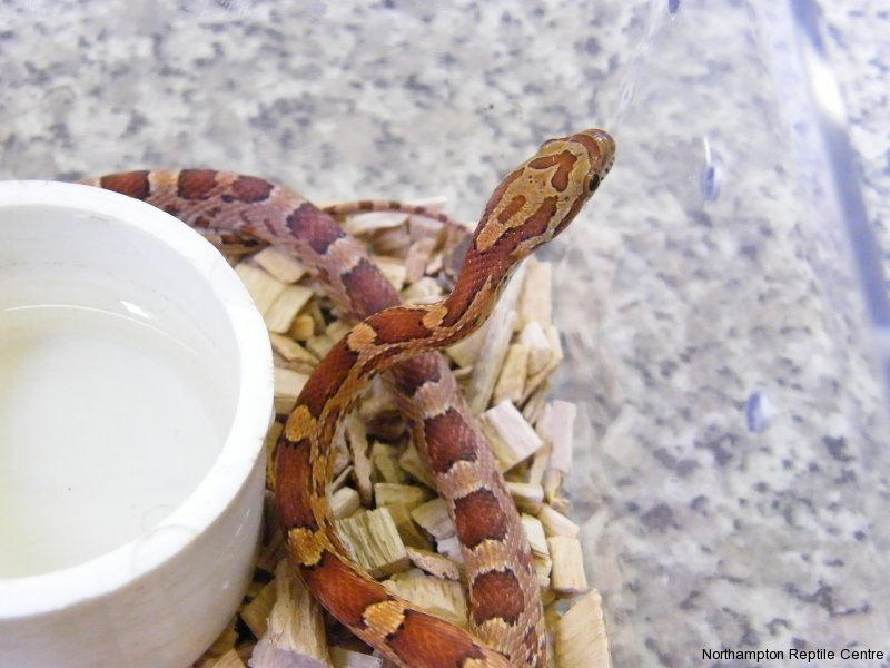 Blood Red Corn Snake