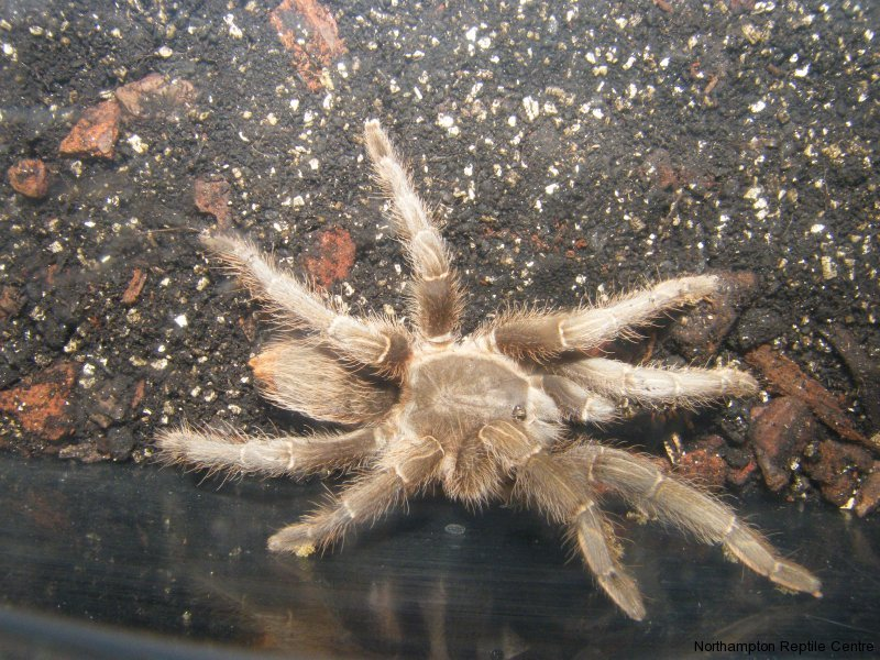 Striped Knee Tarantulas