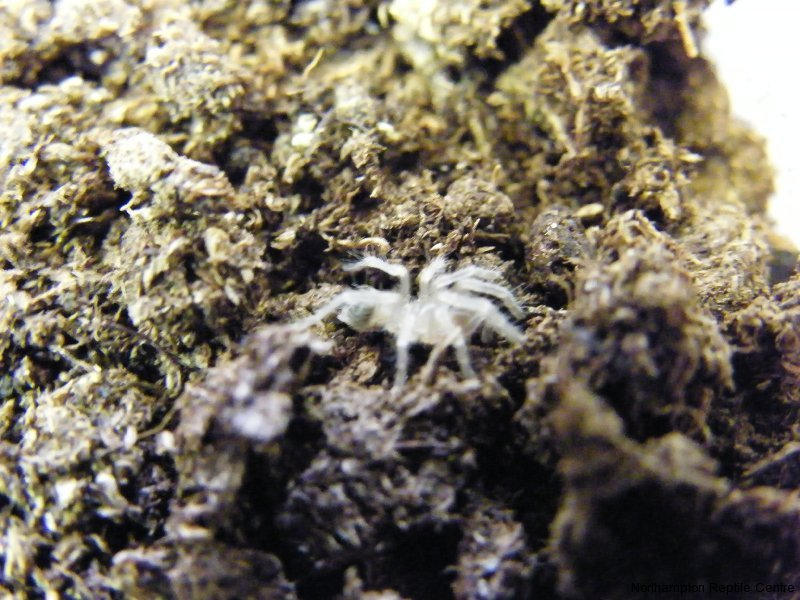 Brazilian White Striped Birdeater Tarantula