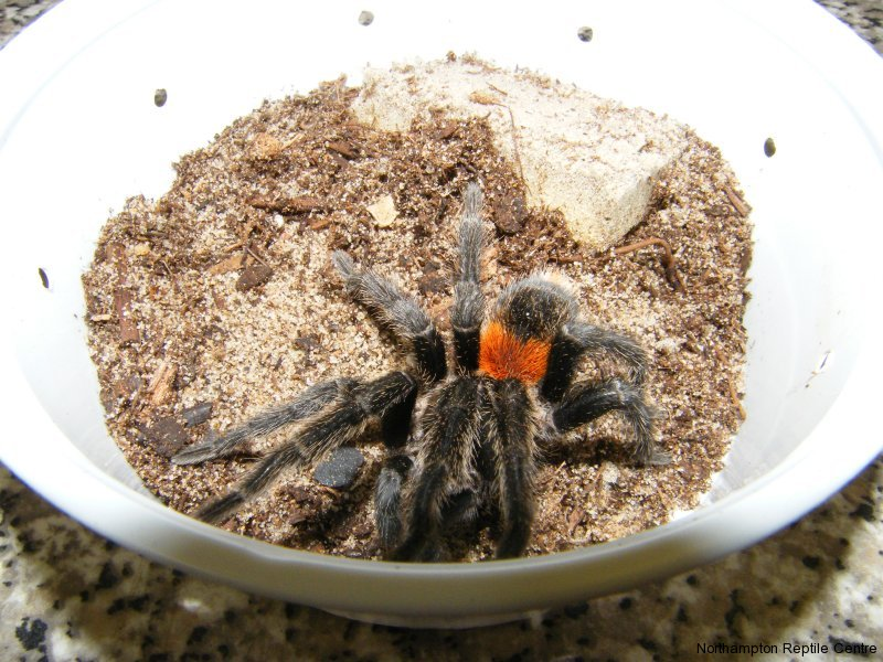 Fire Beauty Tarantula