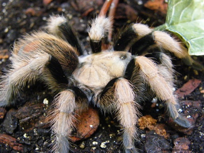 Mexican Blonde Tarantula