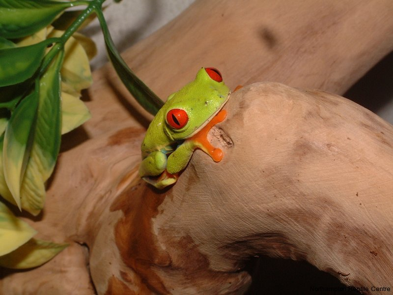 Beautiful Red-eyed Tree Frogs   Reptile Centre