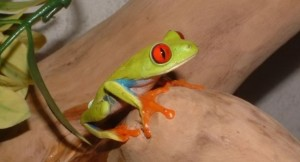 red-eyed tree frog 650