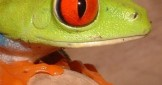 Beautiful Red-eyed Tree Frogs