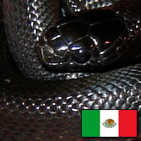 Mexican Black Kins Snake