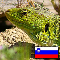 European Green Tree Lizard