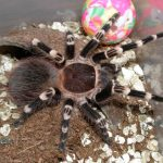 The Brazilian Whiteknee Tarantula – is there a better looking spider?