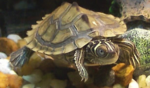 Map Turtle Care Sheet Tortoise Home PDF Library
