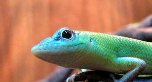 green tree skinks