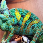 Getting an Awesome Pet Reptile – Chameleons!