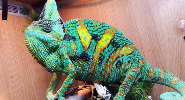 Getting An Awesome Pet Reptile A Chameleon