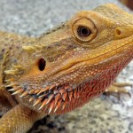 Are Bearded Dragons Good Pets? 5 Reasons To Say Yes