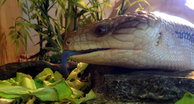 5 great alternatives to bearded dragons reptile centre - Bearded dragon yawn ...