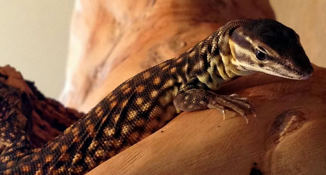 5 Great Alternatives to Bearded Dragons | Reptile Centre