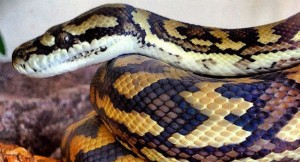 7 awesome pet snakes cover 650x350