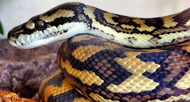 7 Awesome Pet Snakes Reptile Centre