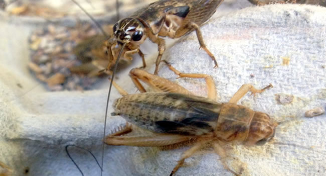 brown crickets reptile livefood