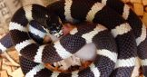 Snakes striking at frozen mice. Watch the video!