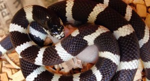 california kingsnake 650x350