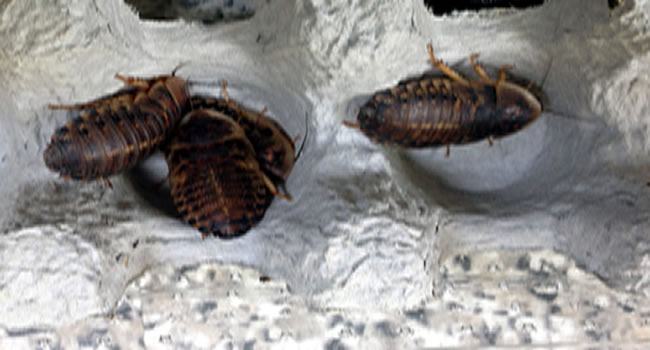 cockroaches reptile livefood