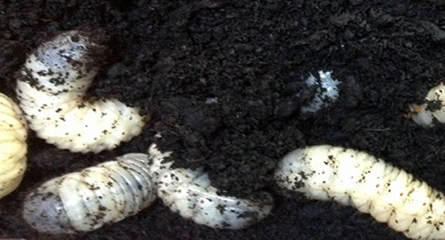 fruit beetle grubs reptile livefood