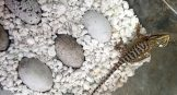 Hatched Beardie - How to Incubate Bearded Dragon Eggs