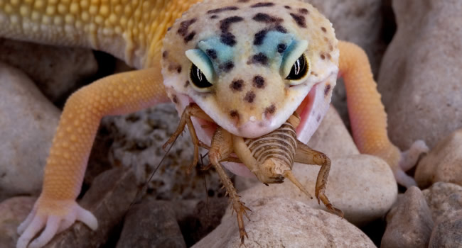 leopard gecko eating cricket