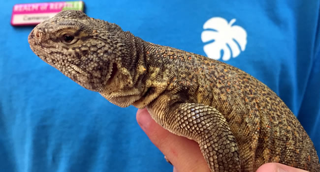 Moroccan Uromastyx