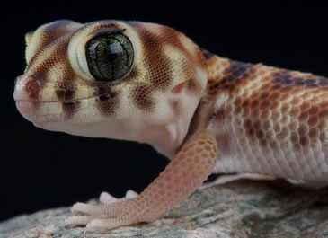 Frog Eyed Gecko Care Sheet Reptile Centre
