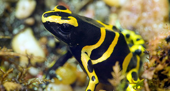 Yellow and Black Dart Frog