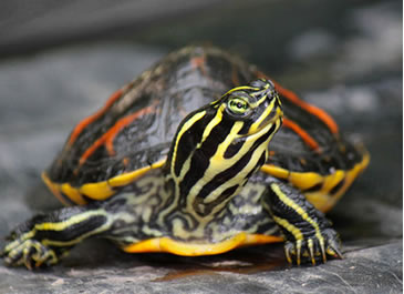 Yellow Bellied Slider Care Sheet Reptile Centre